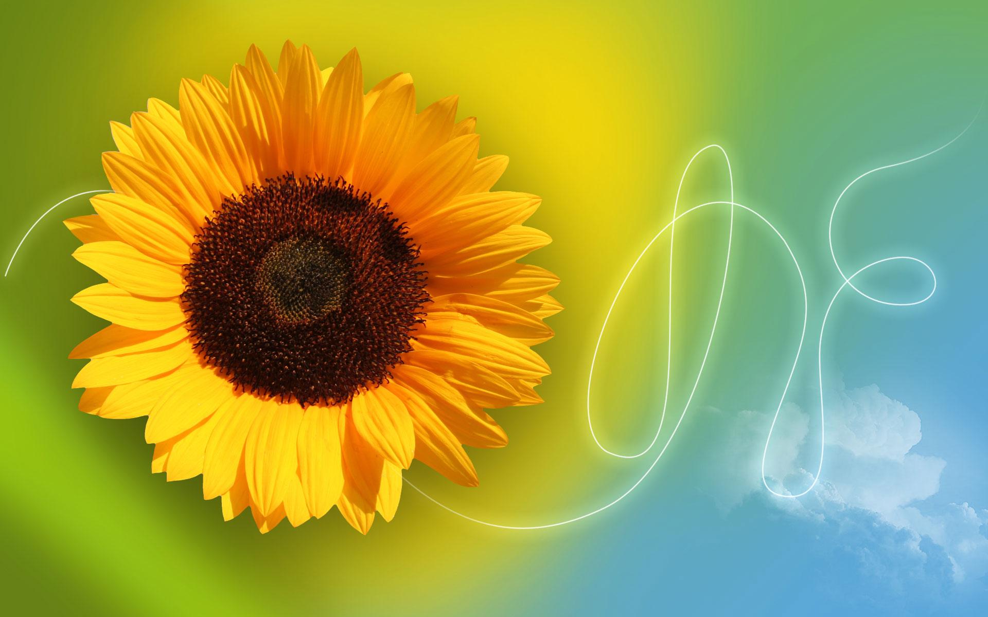 Sunflower Wallpaper Photoshop Tutorials Designstacks