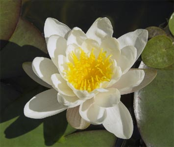 Constellation Of Lotus